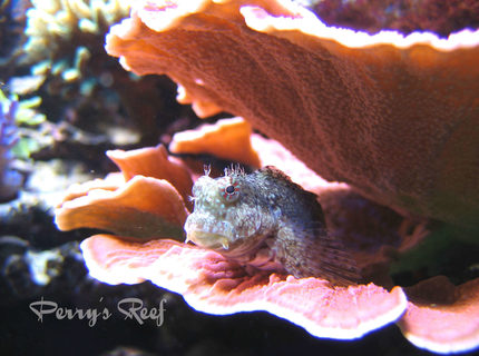 saltwater fish - salarias fasciatus - sailfin/algae blenny stocking in 100 gallons tank - Salarius Fasciatus 2