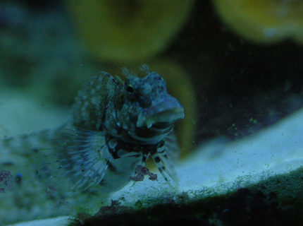 saltwater fish - salarias fasciatus - sailfin/algae blenny stocking in 180 gallons tank - Our lawnmower blenny.Such a ham.