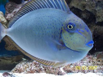 saltwater fish - naso vlamingii - vlamingii tang stocking in 75 gallons tank - The Vlamingii Tang, also known as the Vlaming's Unicornfish, or Bignose Unicornfish, has a brown to purple body color when an adult. In the juvenile, The color graduates from lighter, dorsaly, to darker, ventrally. It has vertical markings on the body and blue highlights. The dorsal fin, anal fin, tail, and face are all sparingly detailed in a brilliant bright blue.