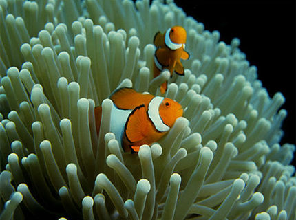 Rated #7: Saltwater Fish - Amphiprion Ocellaris - Ocellaris Clownfish Stocking In 50 Gallons Tank - clown fish