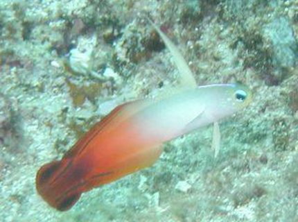saltwater fish - nemateleotris magnifica - firefish stocking in 55 gallons tank - Firefish Goby