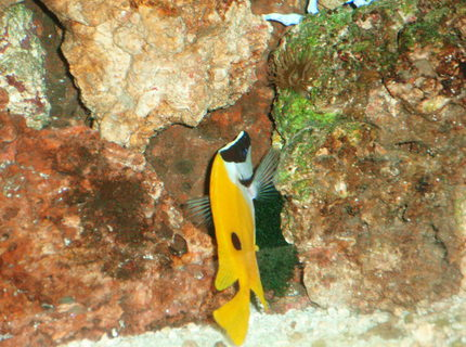 saltwater fish - siganus unimaculatus - one spot foxface stocking in 75 gallons tank - Our Foxface