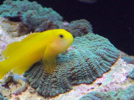 saltwater fish - gobiodon okinawae - clown goby stocking in 120 gallons tank - Krustee the clown gobee on a metllic green mushroom
