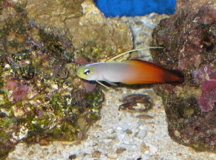saltwater fish - nemateleotris magnifica - firefish stocking in 55 gallons tank - Fire Fish