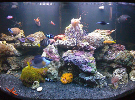 saltwater fish - siganus magnifica - magnificent foxface stocking in 144 gallons tank - My tank with the new black substrate