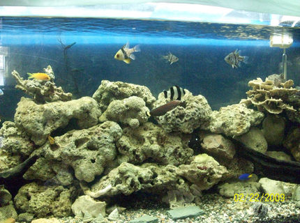 saltwater fish - dascyllus melanurus - four stripe damselfish stocking in 60 gallons tank - updated