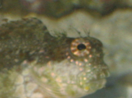 saltwater fish - salarias fasciatus - sailfin/algae blenny stocking in 90 gallons tank - I'm watching you!