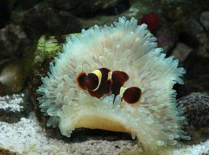 saltwater fish - premnas biaculeatus - maroon clownfish stocking in 29 gallons tank - New clown fish (aka. Stoney)