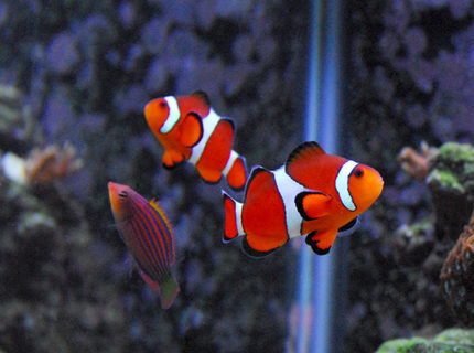 Rated #5: Saltwater Fish - Amphiprion Ocellaris - Ocellaris Clownfish Stocking In 29 Gallons Tank - My fish are photogenic...but I need a macro lens like crazy. They pose for me...as you see. :)