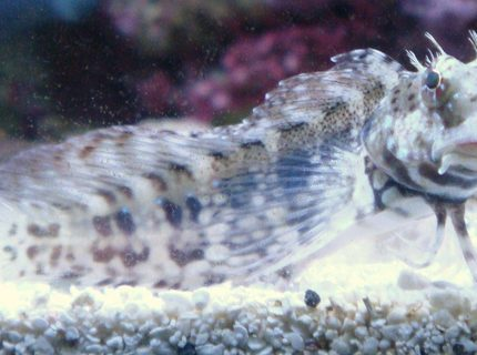 saltwater fish - salarias fasciatus - sailfin/algae blenny stocking in 30 gallons tank - My Buddy Mow