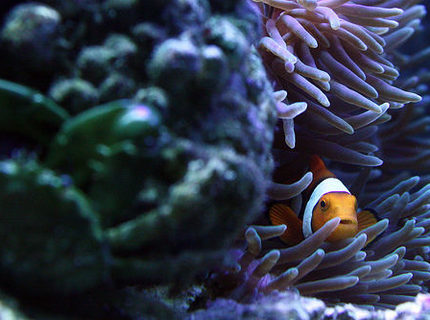 Rated #3: Saltwater Fish - Amphiprion Percula - True Percula Clownfish Stocking In 29 Gallons Tank - Peek-a-boo Nemo. Notice the Green Emerald Crab in the front