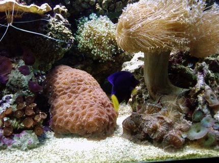 saltwater fish - zebrasoma xanthurum - purple tang stocking in 75 gallons tank - assorted corals and puple tang
