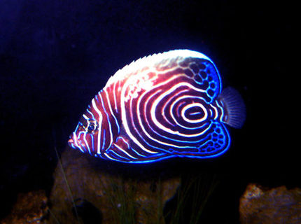 Rated #7: Saltwater Fish - Pomacanthus Imperator - Imperator Angelfish Stocking In 130 Gallons Tank - Imperator Angel Fish - took a pic of him at night when he was roaming around.  : )
