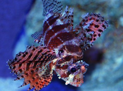 Rated #2: Saltwater Fish - Dendrochirus Brachypterus - Fuzzy Dwarf Lionfish Stocking In 150 Gallons Tank - Fuzzy Dwarf Lionfish