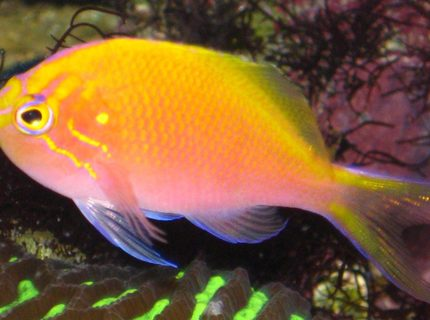 Rated #8: Saltwater Fish - Serranocirrhitus Latus - Fathead Sunburst Anthias Stocking In 20 Gallons Tank - My Sunburst Anthias