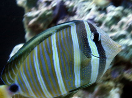 Rated #5: Saltwater Fish - Zebrasoma Desjardini - Sailfin Tang, Desjardini Stocking In 55 Gallons Tank - Sailfin Tang