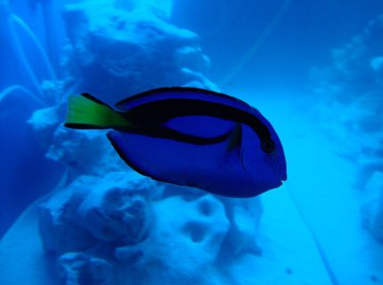 saltwater fish - paracanthurus hepatus - blue tang stocking in 140 gallons tank - Just keep swimming, just keep swimming...