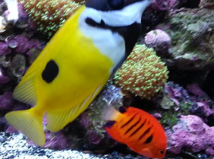 saltwater fish - siganus unimaculatus - one spot foxface stocking in 80 gallons tank - Flame angel and fox face