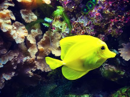 Rated #3: Saltwater Fish Stocking In 55 Gallons Tank - Yellow tang