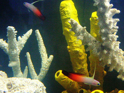 saltwater fish - nemateleotris magnifica - firefish stocking in 55 gallons tank - Fire Goby's To the Rescue!!!
