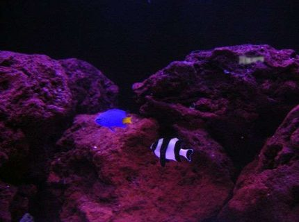 saltwater fish - chrysiptera parasema - yellowtail damselfish stocking in 150 gallons tank - Yellow Tail and 4 stripe damsels