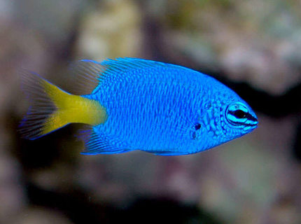 saltwater fish - chrysiptera parasema - yellowtail damselfish stocking in 24 gallons tank - Yellow Tailed Blue Damsel