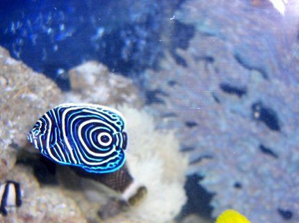 saltwater fish - pomacanthus imperator - imperator angelfish stocking in 54 gallons tank - Emperor AngelFish