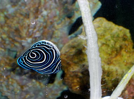 saltwater fish - pomacanthus imperator - imperator angelfish stocking in 54 gallons tank - Emperor AngelFish 2