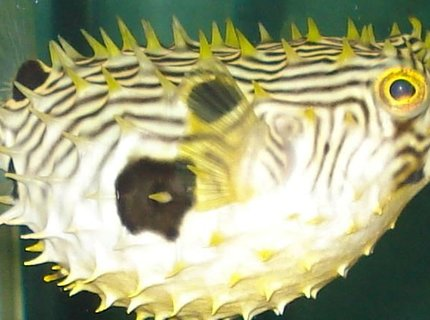 saltwater fish - chilomycterus schoepfi - spiny box puffer stocking in 110 gallons tank - puffer all puffed up