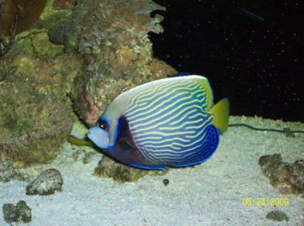 saltwater fish - pomacanthus imperator - imperator angelfish stocking in 155 gallons tank - emporer angel