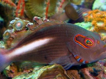 saltwater fish - paracirrhitus arcuatus - arc eye hawkfish stocking in 54 gallons tank - ARC EYE HAWK FISH