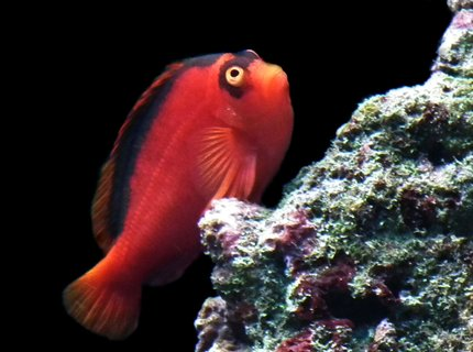 saltwater fish - neocirrhitus armatus - flame hawkfish stocking in 165 gallons tank - Flame my Hawkfish