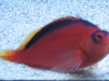 saltwater fish - neocirrhitus armatus - flame hawkfish stocking in 38 gallons tank - flame hawk on tank 2 sand