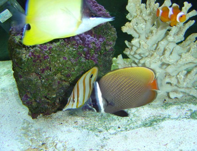 saltwater fish - pomacanthus annularis - annularis angelfish - This is my 125 gallon seawater fish only tank, pictured is a young blueringed angelfish (P. annularis). This tank is still a work in progress I recently added a large naso tang.