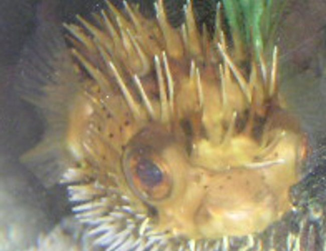 saltwater fish - diodon holocanthus - porcupine puffer stocking in 55 gallons tank - Porcupine Puffer