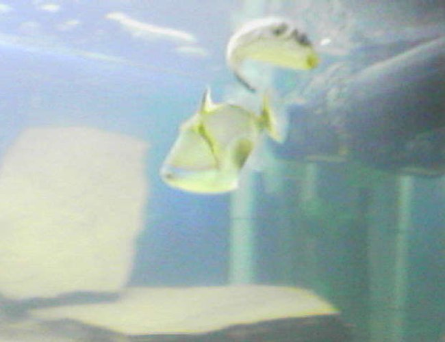 saltwater fish - rhinecanthus verrucosus - bursa triggerfish stocking in 75 gallons tank - Bursa Trigger/Striped puffer