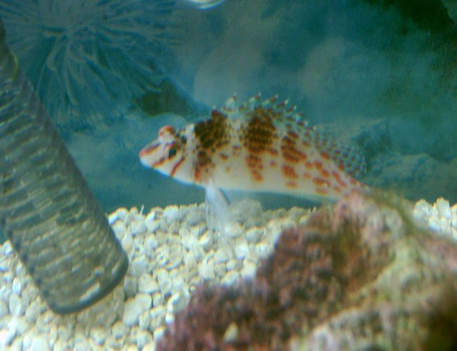 saltwater fish - cirrhitichthys falco - falco hawkfish stocking in 75 gallons tank - dotty hawk
