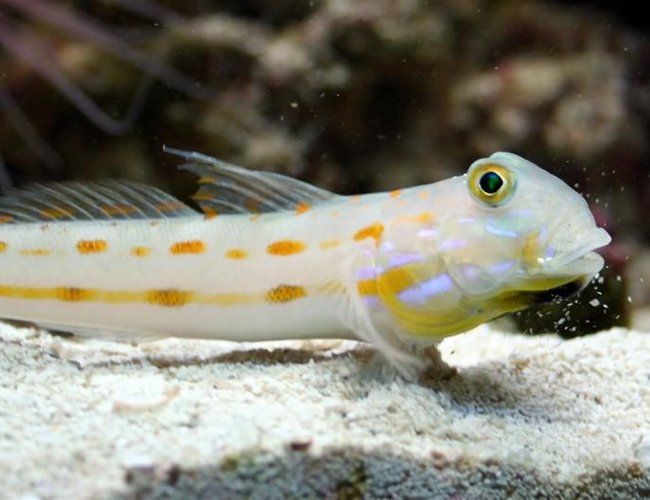 saltwater fish - valencienna puellaris - diamond watchman goby stocking in 24 gallons tank - drOrange Diamond Gobyibbling some sand off his lip
