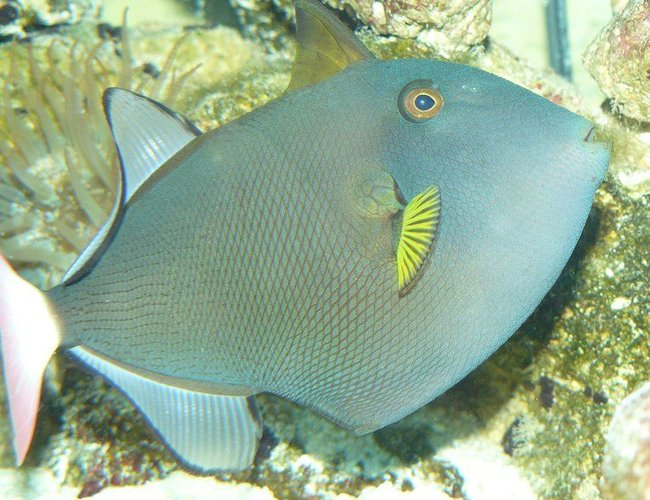 saltwater fish - melichthys vidua - pinktail triggerfish stocking in 110 gallons tank - pinktail triggerfish