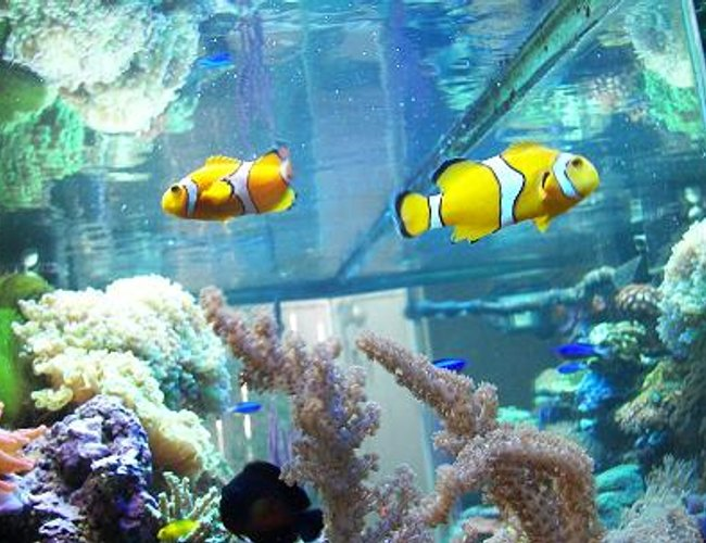 saltwater fish - amphiprion clarkii - clarkii clownfish stocking in 120 gallons tank - HERE'S MY CLOWNS, CORAL BEAUTY,