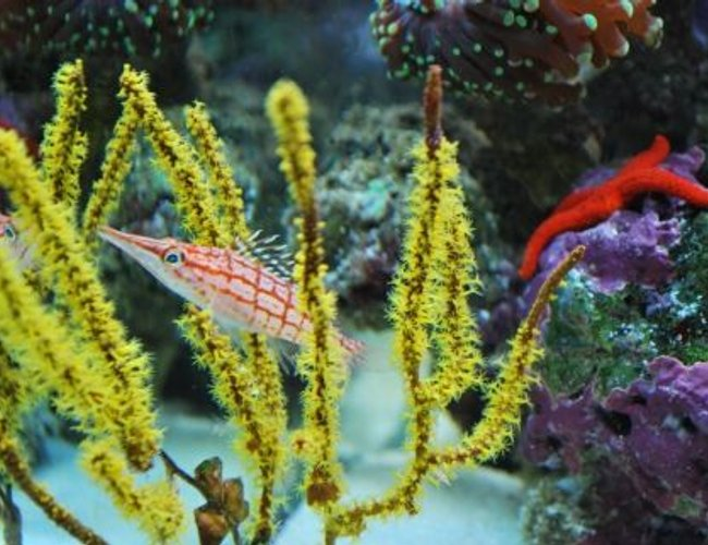saltwater fish - oxycirrhites typus - longnose hawkfish stocking in 60 gallons tank - Long nose hawk fish hanging out in the the feather coral