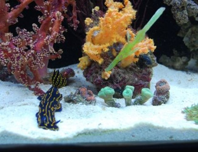 saltwater fish - solenostomus cyanopterus - robust ghostpipefish stocking in 60 gallons tank - Ghost pipe-fish with my greek godess slug