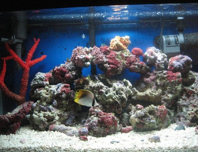 saltwater fish - chaetodon auriga - auriga butterflyfish stocking in 35 gallons tank - threadfin cruisin