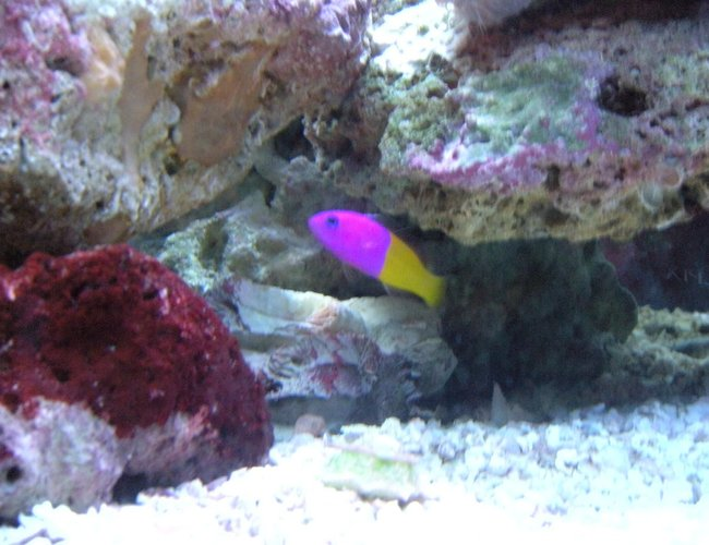 saltwater fish - pictichromis paccagnellae - bicolor dottyback stocking in 28 gallons tank - Royal Dottyback