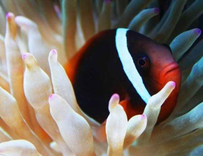 saltwater fish - amphiprion frenatus - tomato clownfish stocking in 75 gallons tank - Tomato clown and new Bubble tip Anemone
