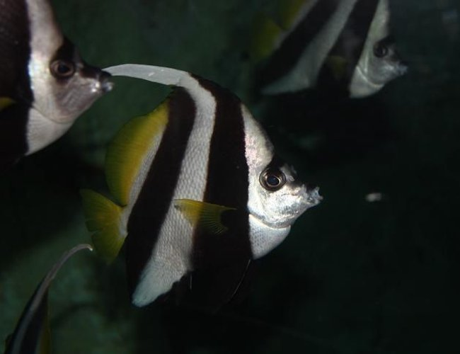 saltwater fish - heniochus acuminatus - longfin bannerfish stocking in 67 gallons tank - Photo of a Banner fish from the Sydney Aquarium