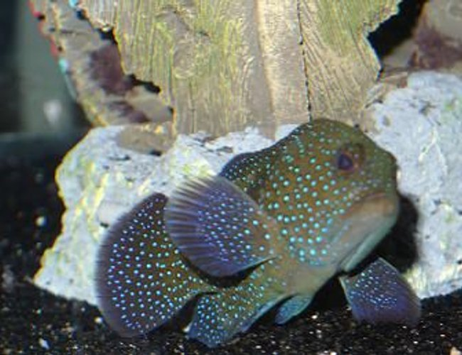 saltwater fish - epinephelus summana - spotted grouper stocking in 125 gallons tank - What kind of grouper is it?