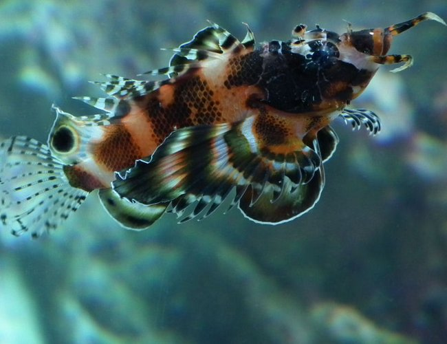 saltwater fish - dendrochirus biocellatus - fu manchu lionfish stocking in 165 gallons tank - Fu Man-Chu Lionfish Lucy