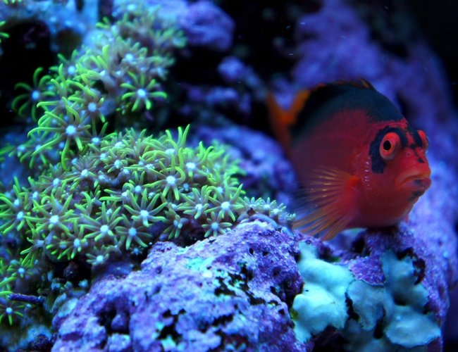 saltwater fish - neocirrhitus armatus - flame hawkfish stocking in 75 gallons tank - my flame hawkfish chillin'