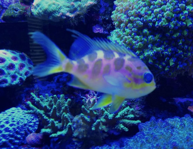saltwater fish - odontanthias borbonius - borbonius anthias stocking in 75 gallons tank - Barbonius anthias
